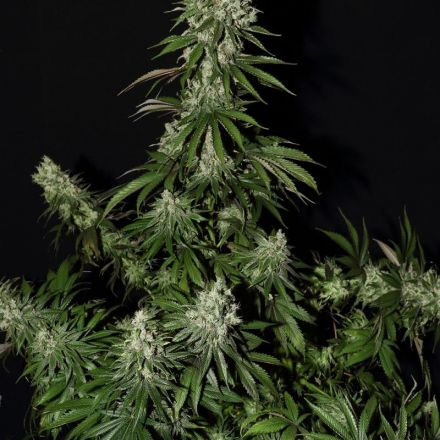 White Strawberry Skunk - 5ks feminizovaná semínka Strain Hunters