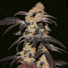 French Cookies - 5ks feminizovaná semínka T.H. Seeds