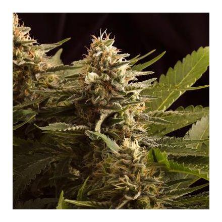 Colombian Jack - 3ks feminizovaná semienka Kannabia Seeds