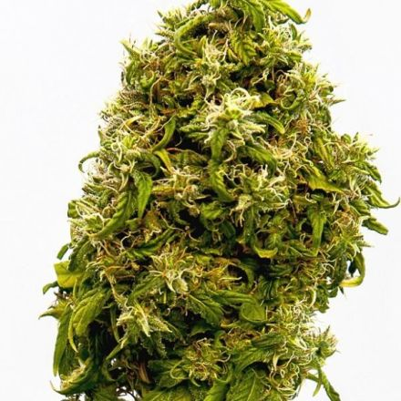 Swiss Dream CBD - 3ks feminizovaná semínka Kannabia Seeds