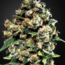 Jack Herer - 5ks feminizovaná semínka Green House Seeds
