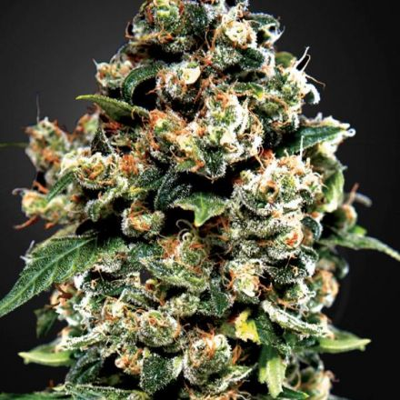 Jack Herer - 10ks feminizovaná semínka Green House Seeds