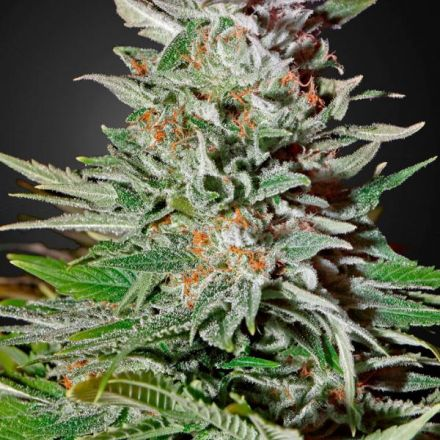 Super Lemon Haze Auto - samonakvétací semienka 5ks Green House Seeds
