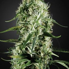 Super Silver Haze - feminizovaná semínka 3ks Green House Seeds