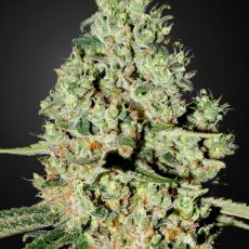 Super Critical - 3ks feminizovaná semínka Green House Seeds