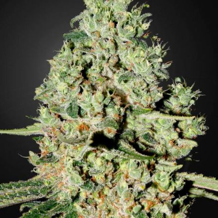 Super Critical - 3ks feminizovaná semienka Green House Seeds