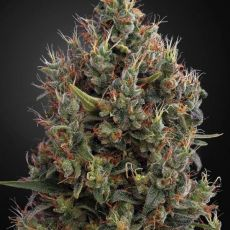 Big Bang Auto - 3ks samonakvétací semínka Green House Seeds
