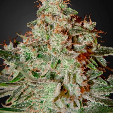 Lemon Skunk - 5ks feminizovaná semínka Green House Seeds