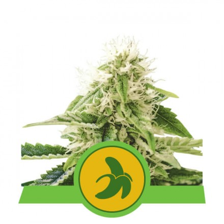 Fat Banana Automatic - fem. a samonakvétací semienka 3ks Royal Queen Seeds