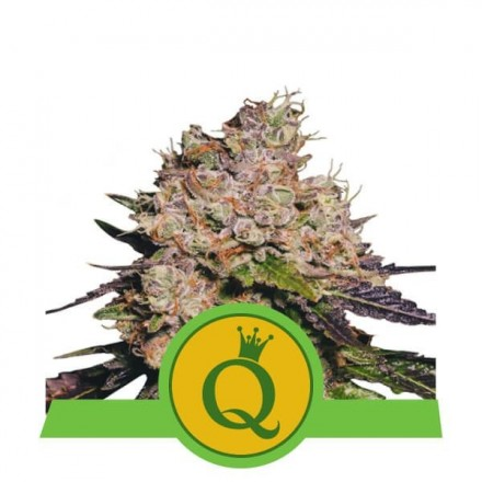 Purple Queen Automatic - fem. a samonakvétací semienka 5ks Royal Queen Seeds
