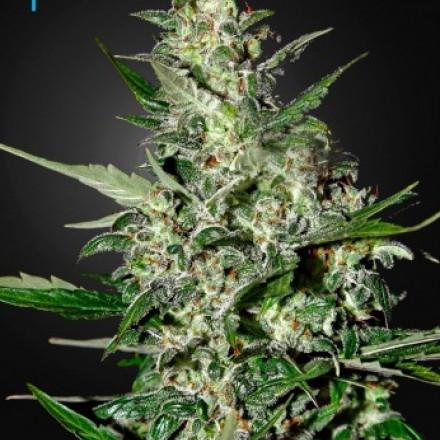 Super Critical Auto - samonakvétací semínka 5ks Green House Seeds