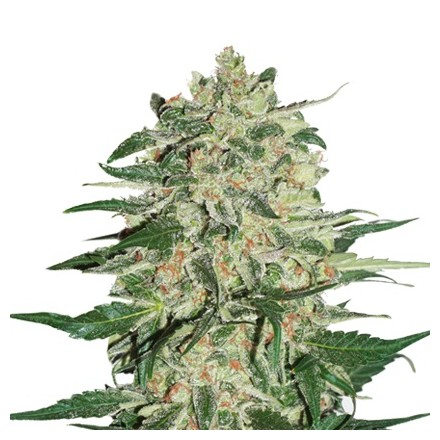 Big Bud feminizovaná semena 3 ks Seedstockers