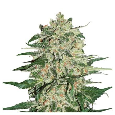Big Bud feminizovaná semena 5 ks Seedstockers