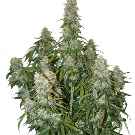Big Bud samonakvétací semena 3 ks Seedstockers