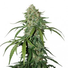 CBD 1:1 Silver Lime Haze samonakvétací semena 3 ks Seedstockers