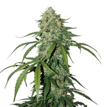 CBD 1:1 Silver Lime Haze samonakvétací semena 5 ks Seedstockers
