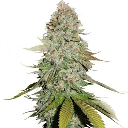 Gorilla Glue feminizovaná semena 5 ks Seedstockers