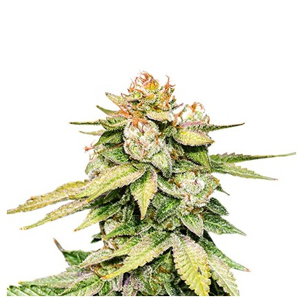 Gorilla Glue samonakvétací semena 3 ks Seedstockers
