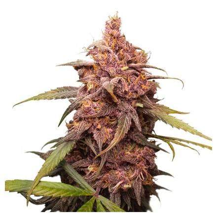 Purple Punch feminizovaná semena 3 ks Seedstockers