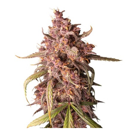 Purple Punch samonakvétací semena 5 ks Seedstockers