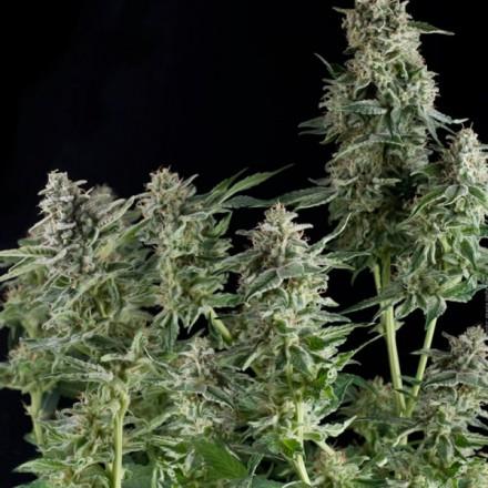 CBD Northern Lights feminizovaná semena 3 ks Pyramid Seeds