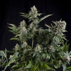 CBD White Widow feminizovaná semena 3 ks Pyramid Seeds