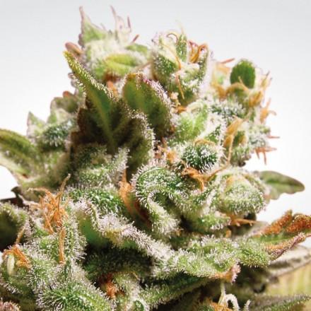 Dutch Dragon - 10 ks feminizovaná semínka Paradise Seeds