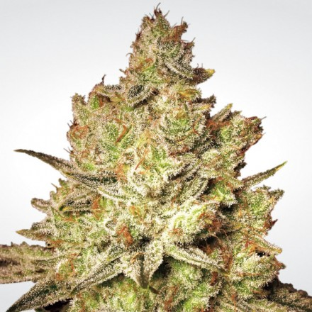 Jacky White - 10 ks feminizovaná semínka Paradise Seeds