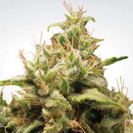 Opium - 3 ks feminizovaná semínka Paradise Seeds