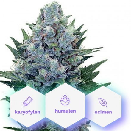 Special Medic CBD - 5ks feminizovaná semínka Cannapio
