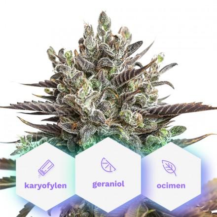 Infinity CBD - 3ks feminizovaná semienka Cannapio