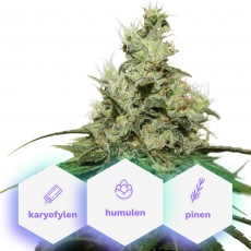 Wellness CBD - 3ks feminizovaná semienka Cannapio