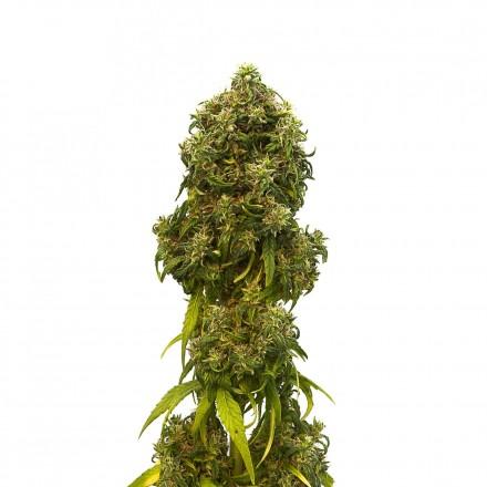 Swiss Dream CBD - 10ks feminizovaná semínka Kannabia Seeds