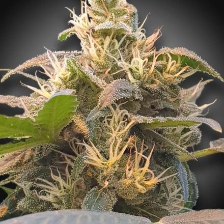CBDenergy - 3ks feminizovaná semienka Paradise Seeds