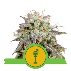 Mimosa Automatic - fem. a samonakvétací semienka 5 ks Royal Queen Seeds