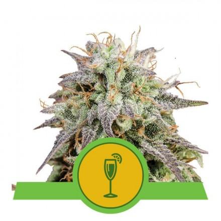 Mimosa Automatic - fem. a samonakvétací semínka 5 ks Royal Queen Seeds