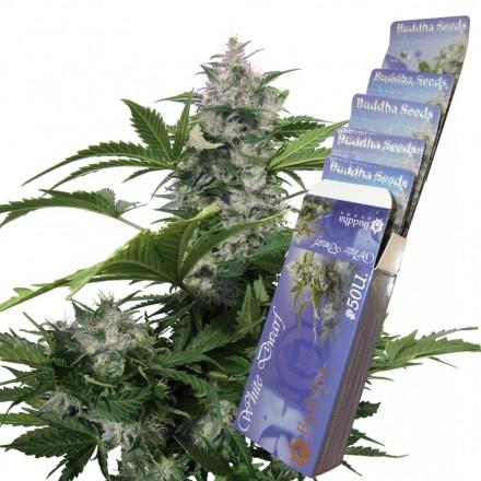 White Dwarf - fem. a autoflowering semienka Buddha Seeds