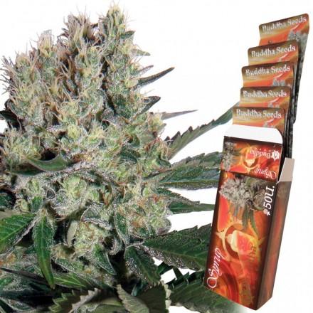 Syrup - fem. a autoflowering semínka Buddha Seeds