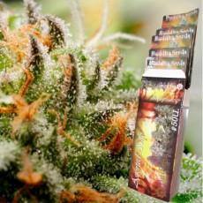 Budha Seeds AutoMix 10ks autoflowering semen BS