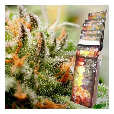 Buddha Assorted Auto - 10ks autoflowering semien Budha Seeds