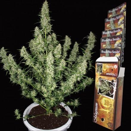 Magnum - fem. a autoflowering semínka Buddha Seeds