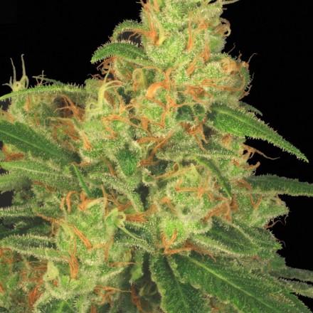 Auto Acid - fem. a autoflowering semienka 3ks Paradise Seeds