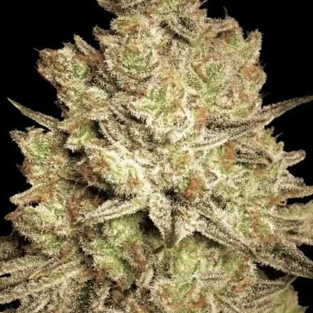 Jacky White - 3 ks feminizovaná semínka Paradise Seeds
