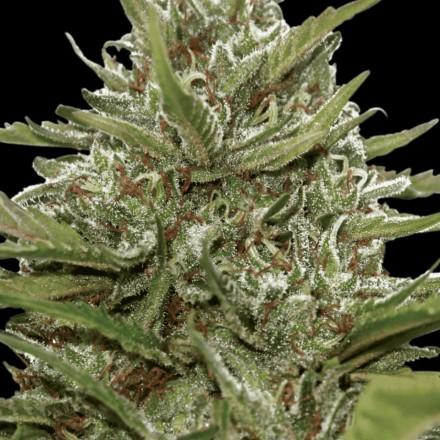 Auto White Berry - fem. a autoflowering semienka 3ks Paradise Seeds