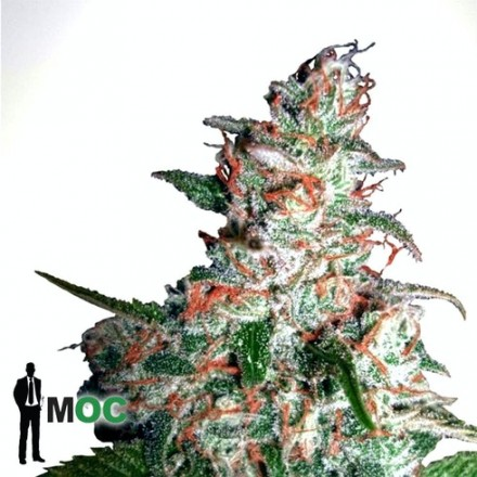 Ultra White Amnesia - feminizovaná semínka 5ks Ministry of Cannabis