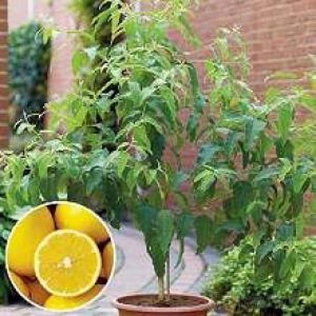 Citronový eukalyptus - blahovičník - semínka 7 ks