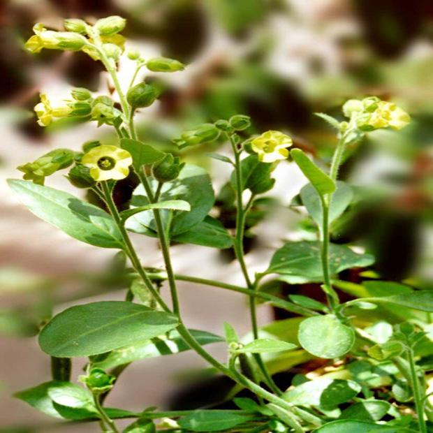 Tabak Selský (rastlina: nicotiana rustica) - semená- 200 ks *
