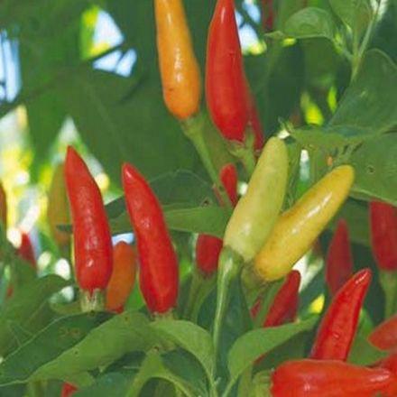 Chilli papričky - semínka 10 ks