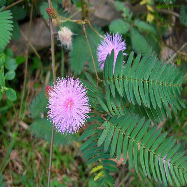 Citlivka obyčajná (mimosa pudica) - semená- 7 ks **