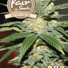 Auto Jack - autoflower semena 10ks Fair Seeds